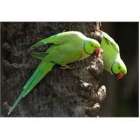Bahçemizdeki Papağanlar