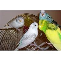 Muhabbet Kuşu Maması