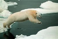 Kutup Ayısı Fok Avlıyor