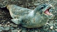 Antartikanın İlginç Yırtıcıları: Leopar Fokları