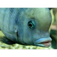 Ciklet Balıkları Neden Kavga Eder?
