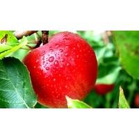 1 Elma Felçten Kurtarıyor...