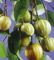 Zayıflatan Bitki - Kamboçya Yeşil Ağacı