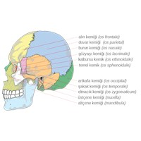 Kafatası | İnsan Kafatasının Yapısı