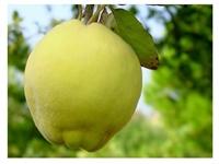 Mevsim Meyvelerinden:ayva