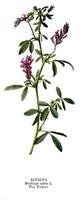 Alfaalfa Bitkisi Faydaları Ve Kullanım Alanları