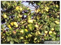 Yabani Elma (pirus Malus)