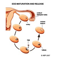 Östrojen Nedir? | Östrojen Hormonu Görevleri