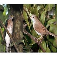 Guguk Kuşu Ve Ötlegen