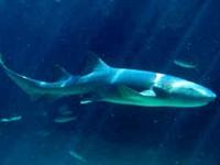 Köpek Balığı Karaciğer Yağı Faydaları