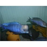 Yunus Cichlid Balığı Bakımı
