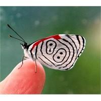 Kelebekler Kanat Renklerine Nasıl Kavuştular?
