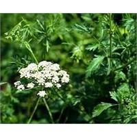 Anason bitkisinin faydaları ve kullanımı