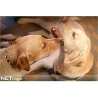Köpekler Kanserin Kokusunu Alabiliyor