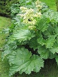 Şifalı Bitkiler - Revend Otu Ve Faydaları