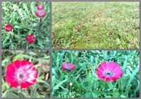 Sevgi Çiçeği, Dünyada Yalnızca Ankara'da…