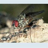 yeşil Sinek  Şifası (maggot Terapi)