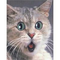 Kitlenen Kedi!