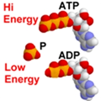 Fosforilasyon Çeşitleri Nelerdir?
