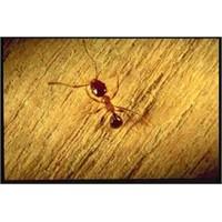 Karıncaları Engelleme Yolları