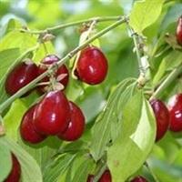 Kızılcık Antioksidan Ve C Vitamini Kaynağı