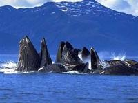 Balinalar Küresel Isınmayı Yavaşlatıyor