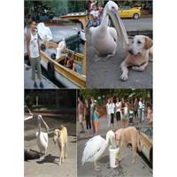 Pelikan Osman