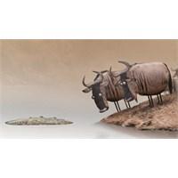 Günün Kısa Filmi : Wildebeest