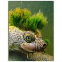 Mary River Kaplumbağası | Elusor Macrurus