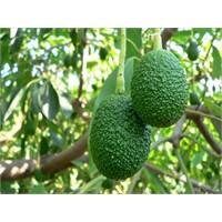 Erken Hasat Uyarısı Avokado Üreticilerini Korkuttu