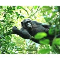Yağmur Ormanında Şempanze Aramak