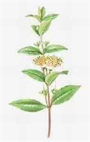 Şifalı Bitkileri Toplama Zamanı