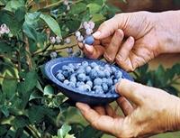 Yaban Mersini Meyvesi  faydaları