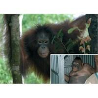 İnsanlığın Geldiği Son Nokta: Orangutan İle Seks