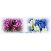 Sümbül Çiçeği Ve Buhar