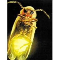 Ateş Böceği Nasıl Işık Saçıyor?