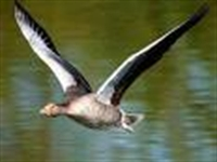 Yaban Kazları Nasıl Uçar