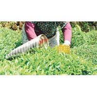 Çaykur'dan Organik Tarıma Destek