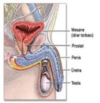 Prostat Kanserinden Korunma Yöntemleri