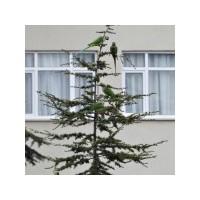 İstanbul'da Papağanlar