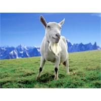 Keçi Sütü İnek Sütüne Karşı