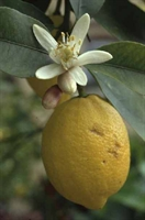 Zayıflatan Bitkiler - Limon Yağı