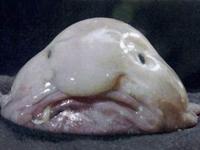 En Çirkin Hayvan Olan Damla Balığının Nesli Tükeni