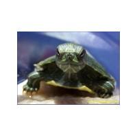 Eviniz İçin Yeni Dostlar Kaplumbağalar