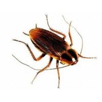 Hamam Böceğinden Elektrik Üretildi!