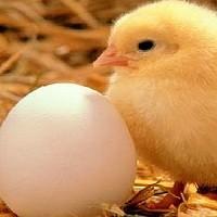 Yumurtanın tazeliği nasıl anlaşılır