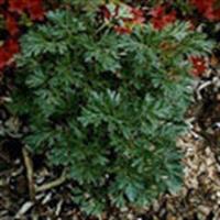 Şifalı Bitkiler - Pelin Otu Ve Faydaları