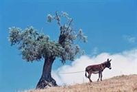 Zeytin Ağac