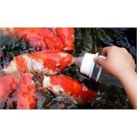Çin'de Balıkları Biberonla Emziriyolar!