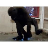 Break Dans Yapan Goril